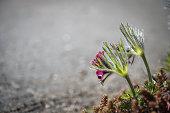 Pulsatilla or pasque flower in spring