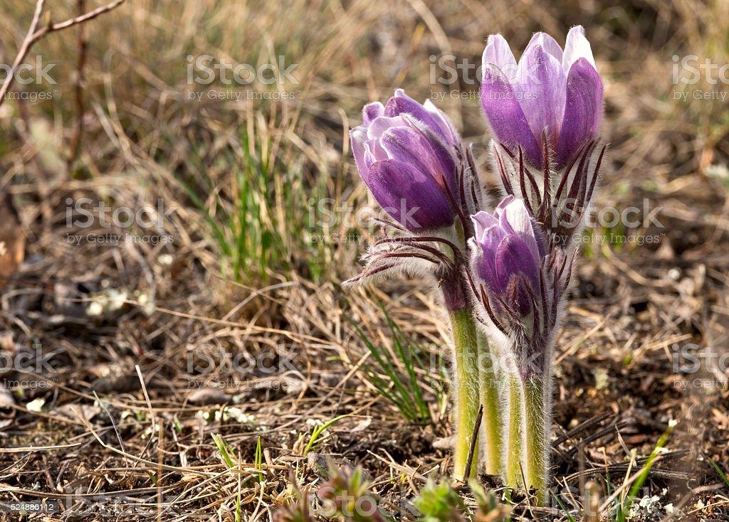 Pulsatilla patens - First spring flowers stock photo