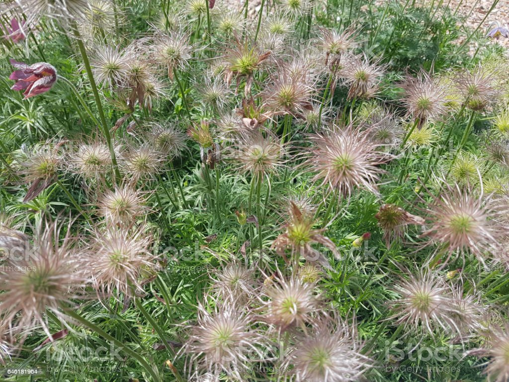 Pulsatilla pratensis, ripe, seeds stock photo