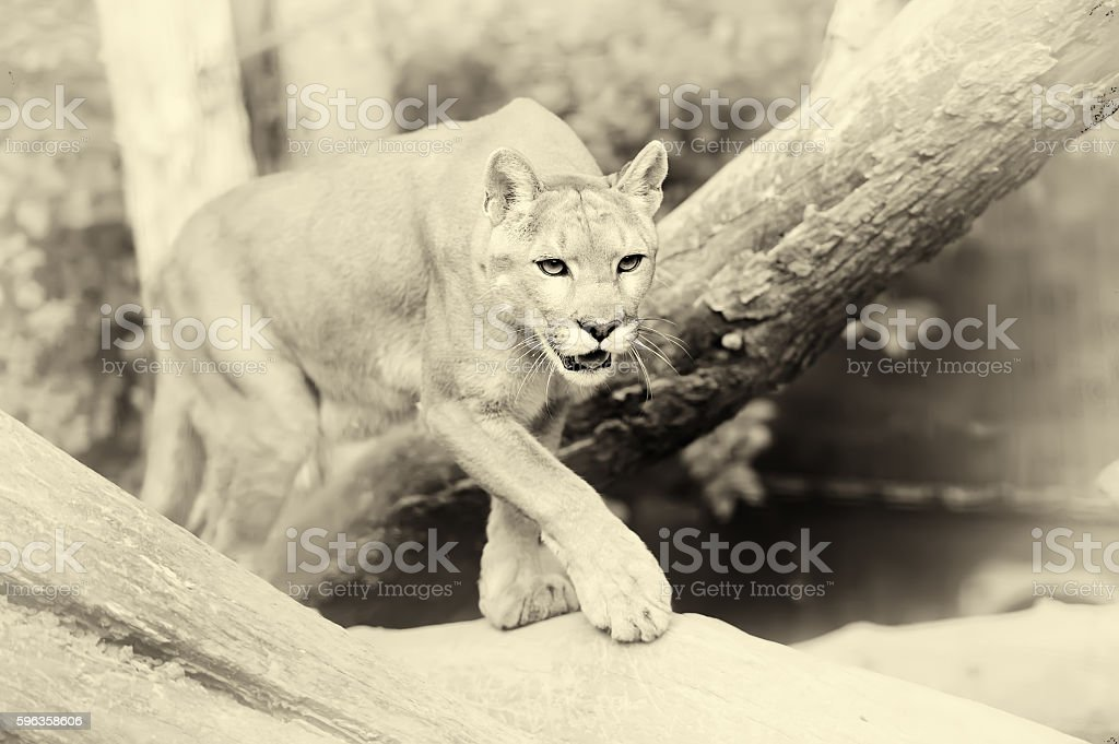Puma face in the wild. Vintage effect stock photo