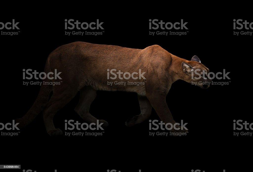 puma (Panthera onca) in the dark stock photo