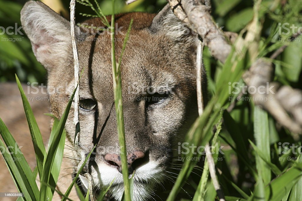 Puma in the Wild royalty-free stock photo