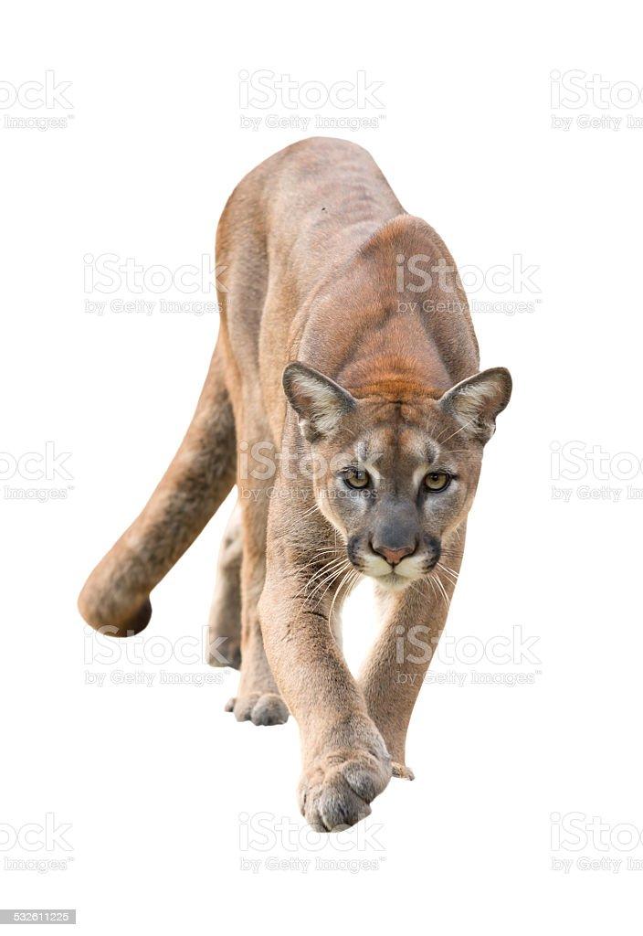 puma isolated stock photo