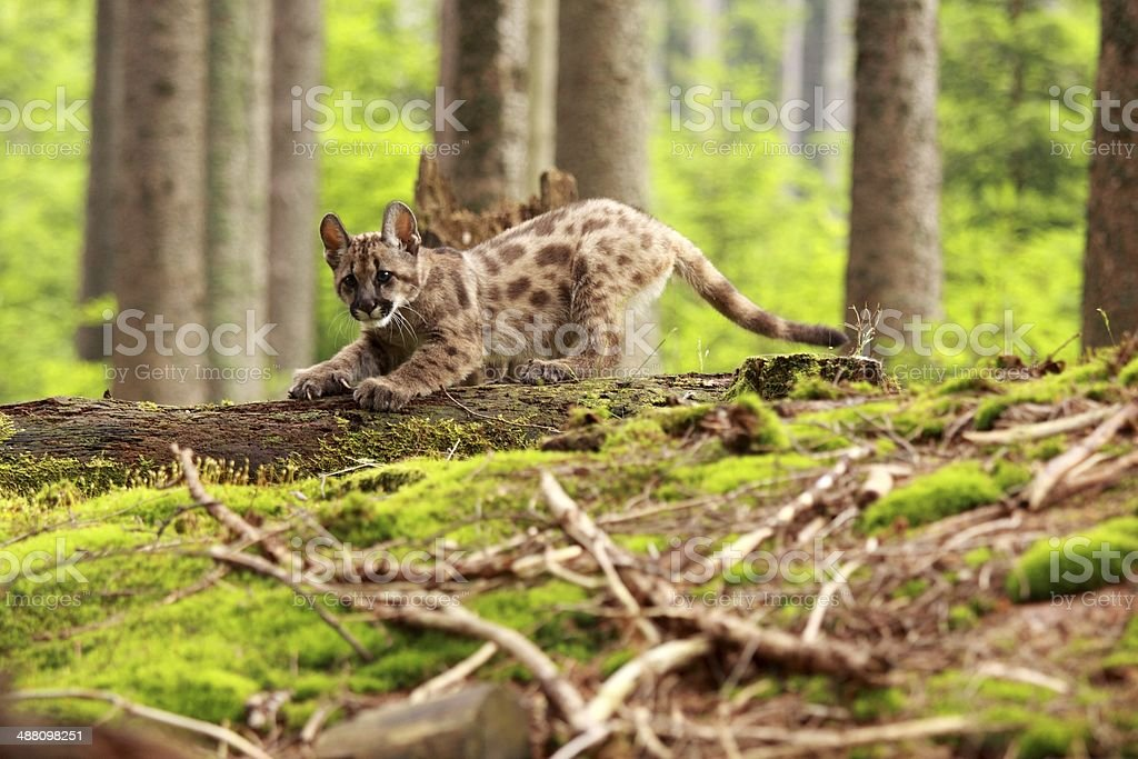 Puma kitten stock photo