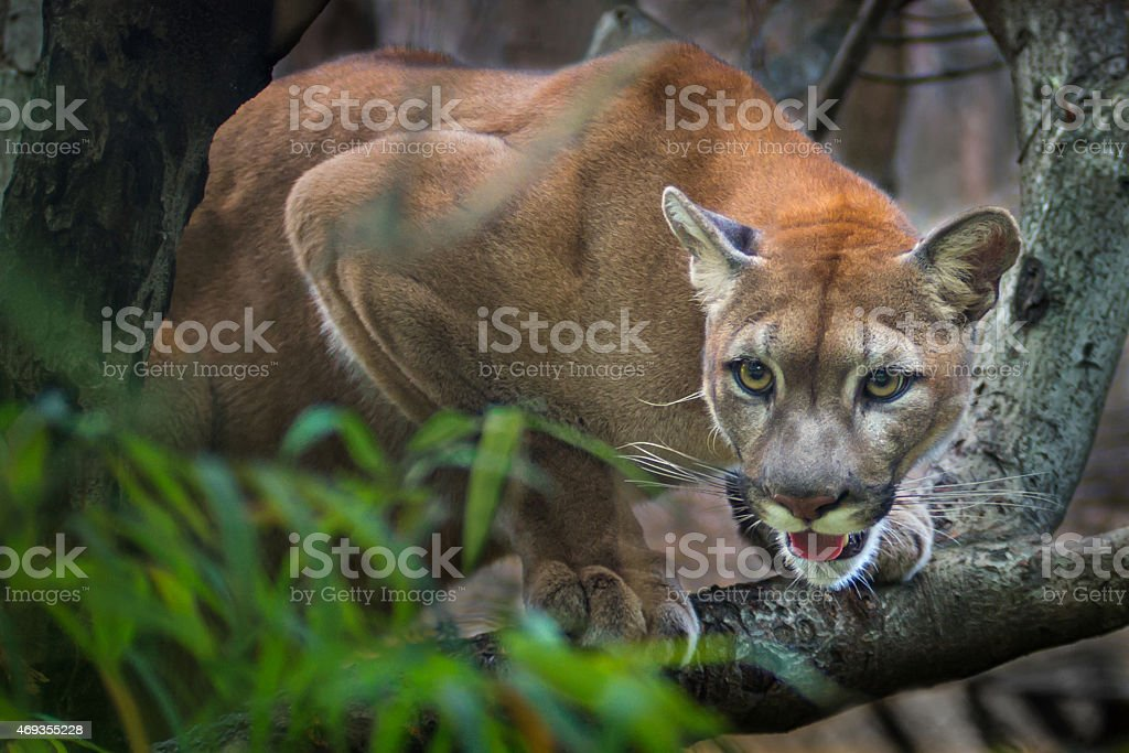 A puma mountain lion crouching on a tree waiting to pounce stock photo