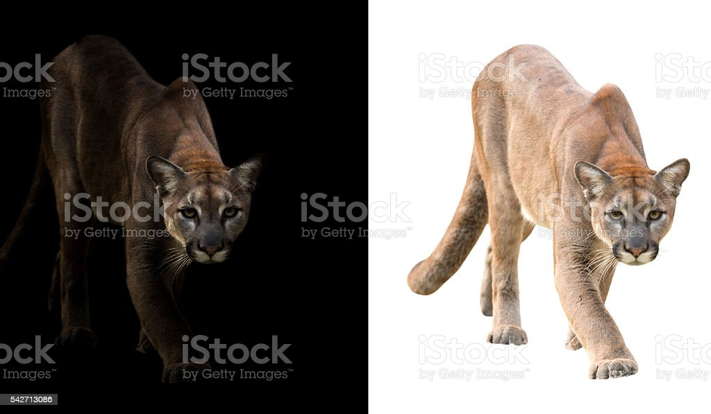 puma on black and white background stock photo