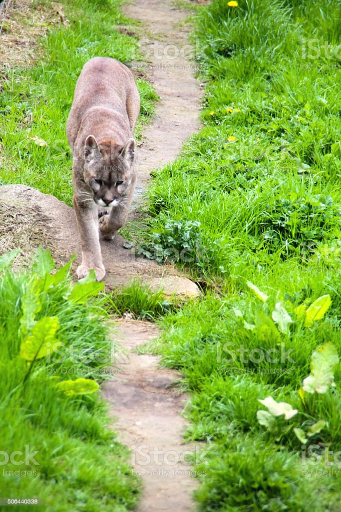 Puma on the path stock photo