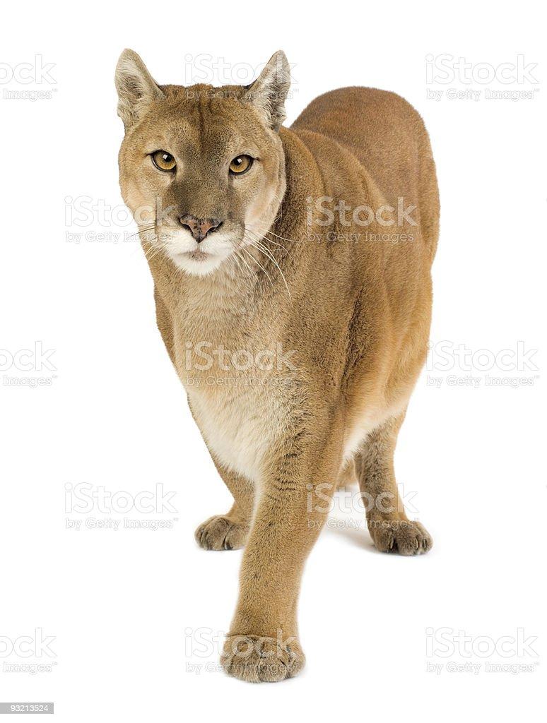 Puma (17 years) royalty-free stock photo