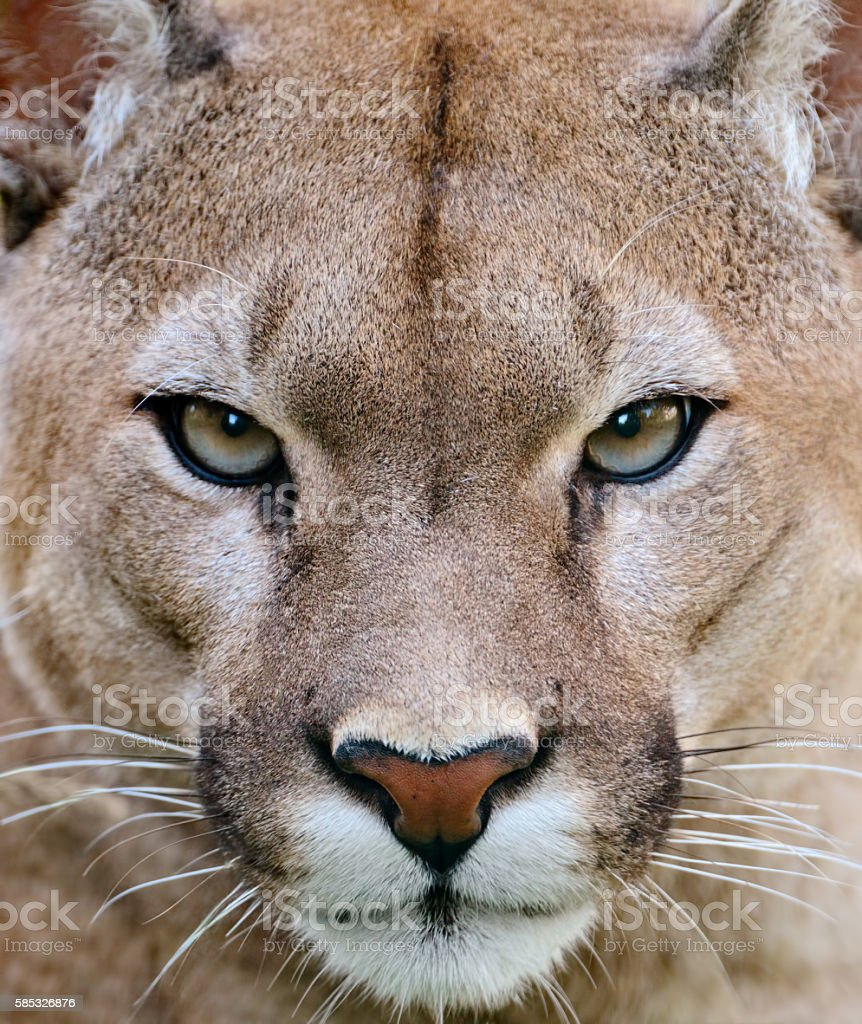 puma portrait stock photo