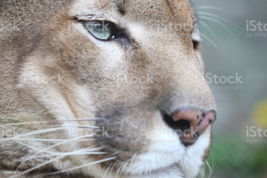 Puma Resting and Looking Straight stock photo