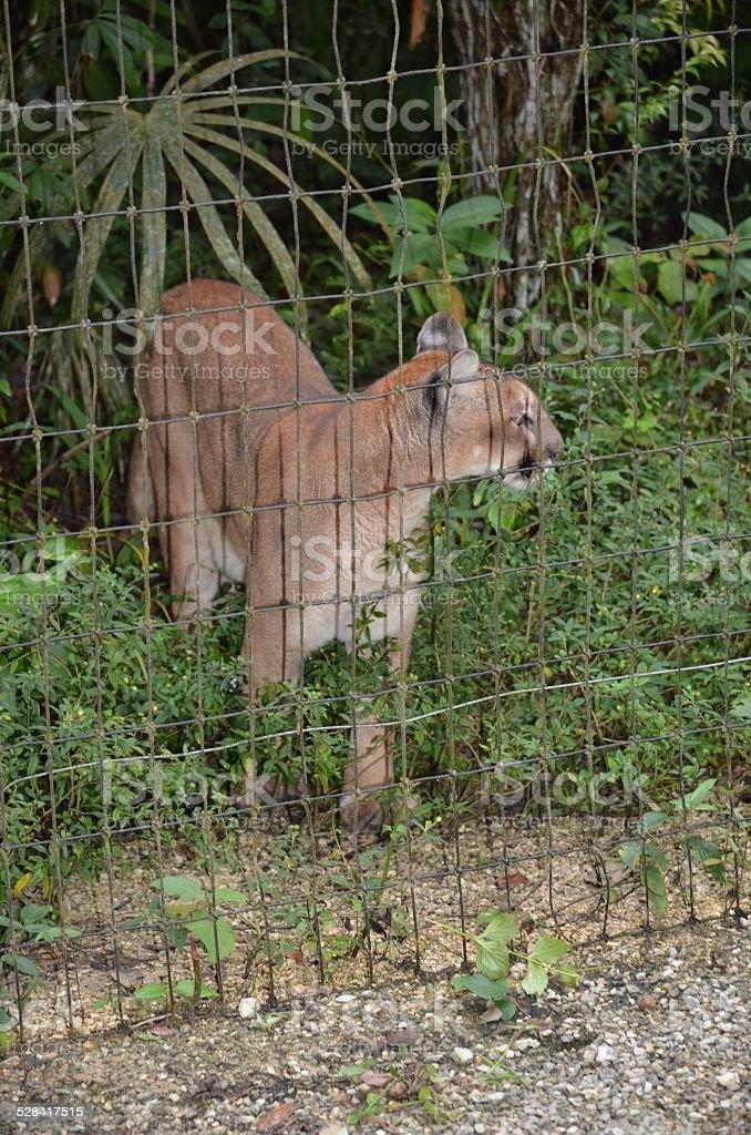 Puma Standing at Edge of Enclosure royalty-free stock photo