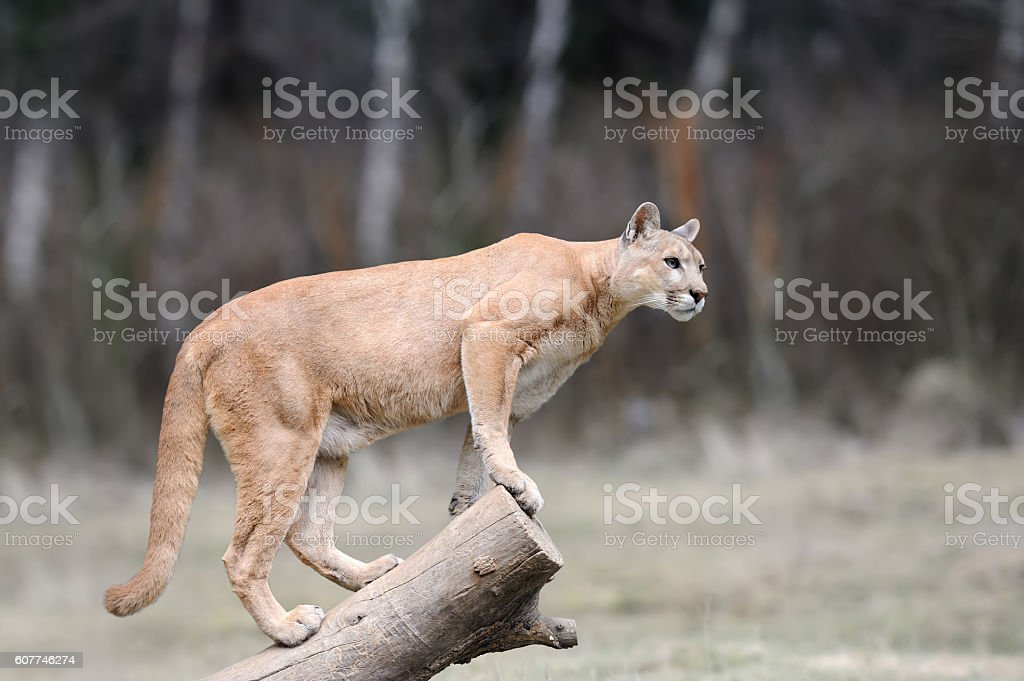 Puma stands on a tree stock photo