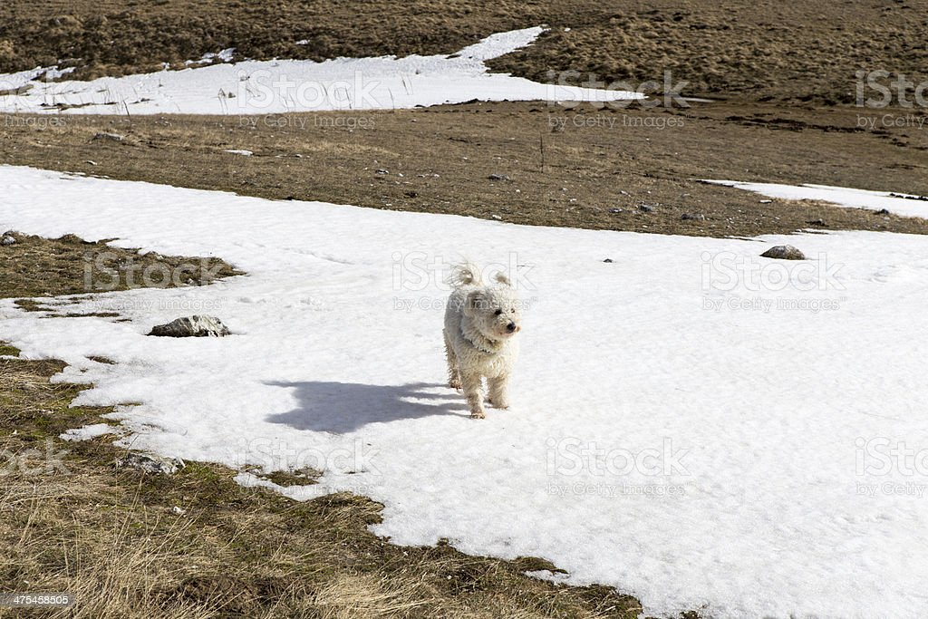 pumi in snow royalty-free stock photo