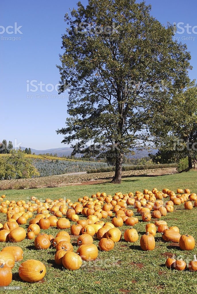 Pumpkin Farm stock photo