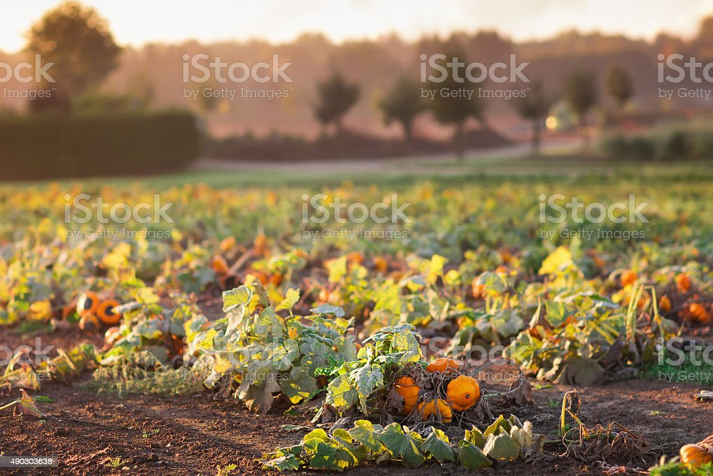 Pumpkin field in autumn stock photo