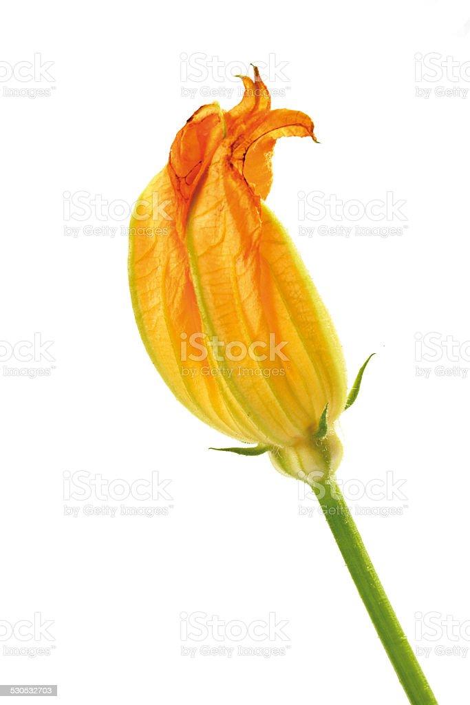 Pumpkin flower, close-up stock photo