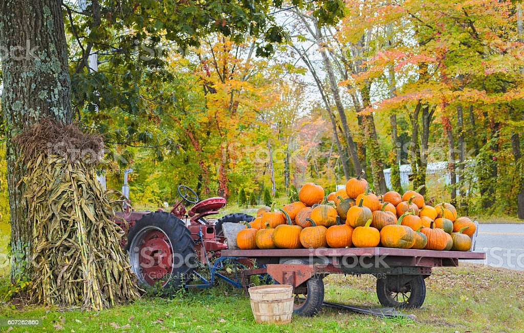 Pumpkin harvest stock photo