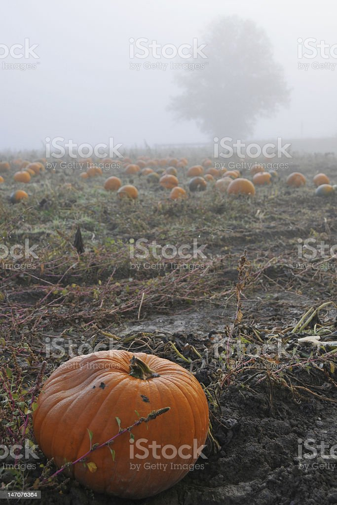 Pumpkin in a Foggy Patch stock photo