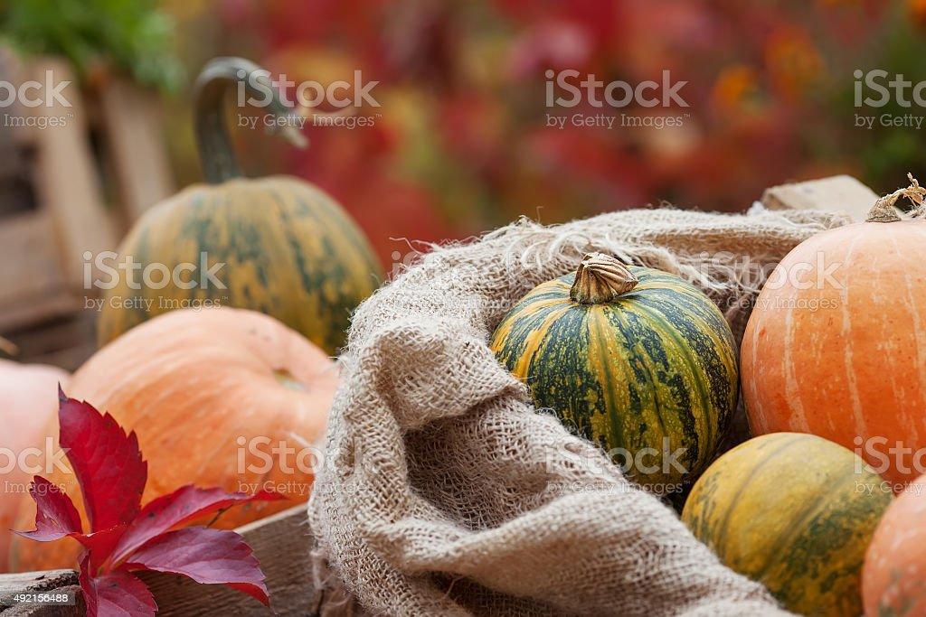 Pumpkin in a  linen bag. Autumn nature concept.l stock photo