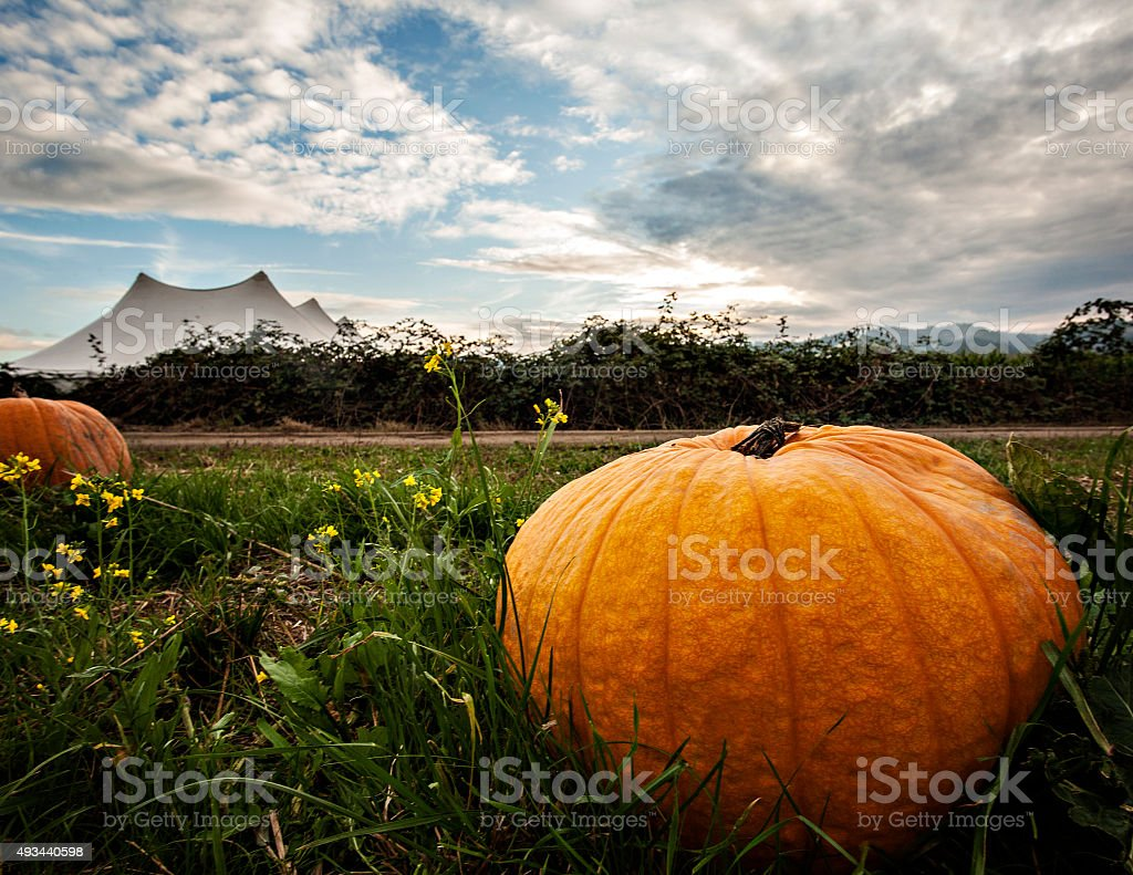 Pumpkin in a patch stock photo