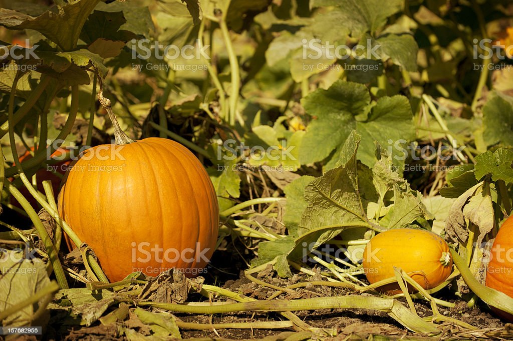 Pumpkin in Patch stock photo