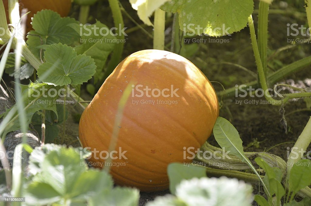 Pumpkin in the garden royalty-free stock photo