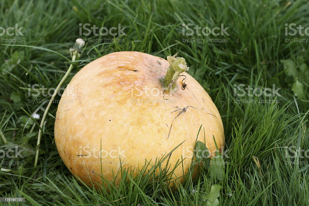 Pumpkin in the grass royalty-free stock photo