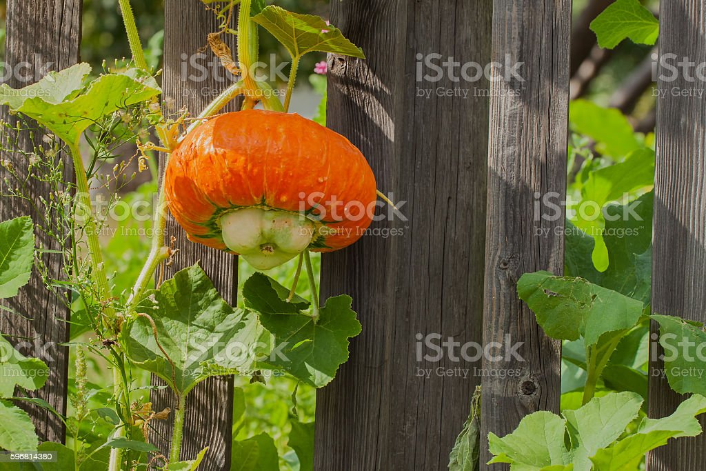 Pumpkin is so unpretentious to care, can grow everywhere except stock photo