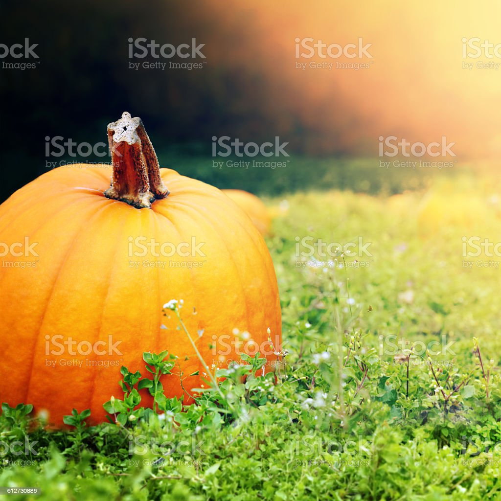 Pumpkin on a field with lighting effect stock photo