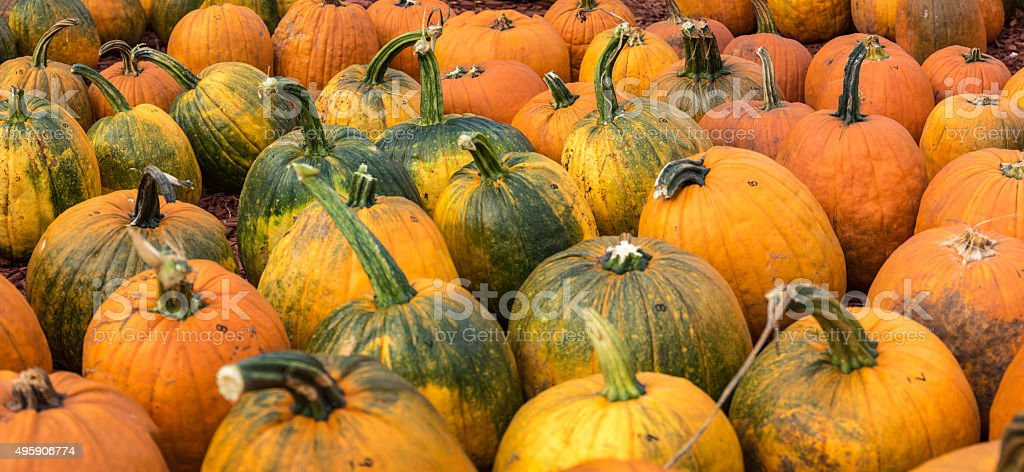Pumpkin Pano stock photo