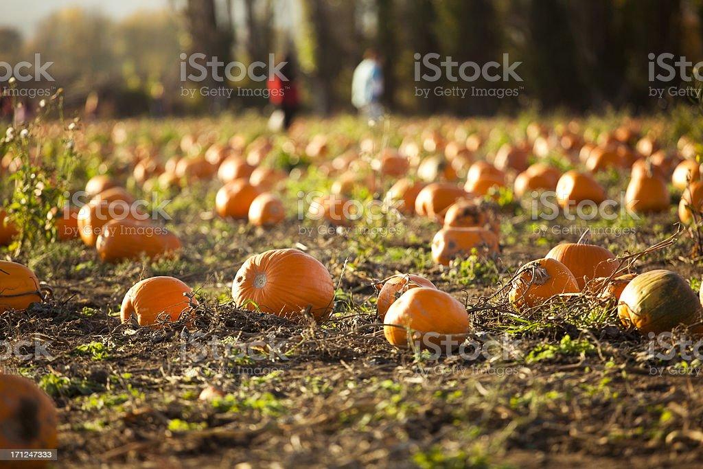 Pumpkin Patch Farm in Autumn royalty-free stock photo