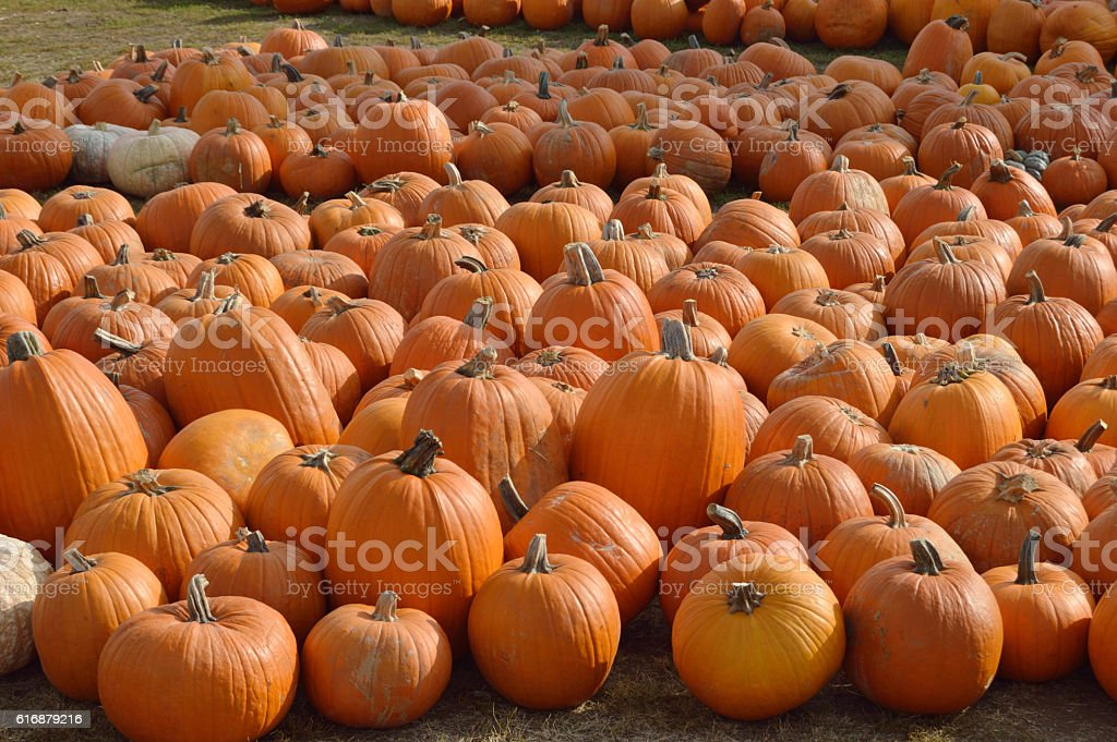 pumpkin patch for autumn stock photo