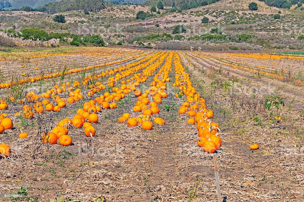 Pumpkin Patch Half Moon Bay California stock photo