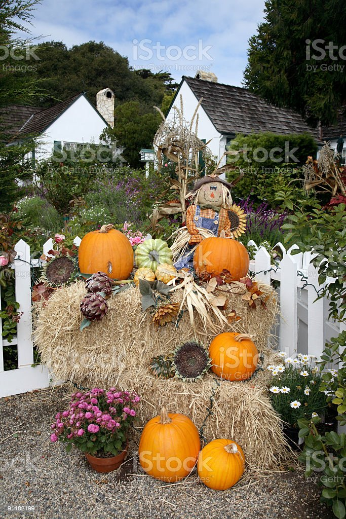 Pumpkin patch in a farm royalty-free stock photo