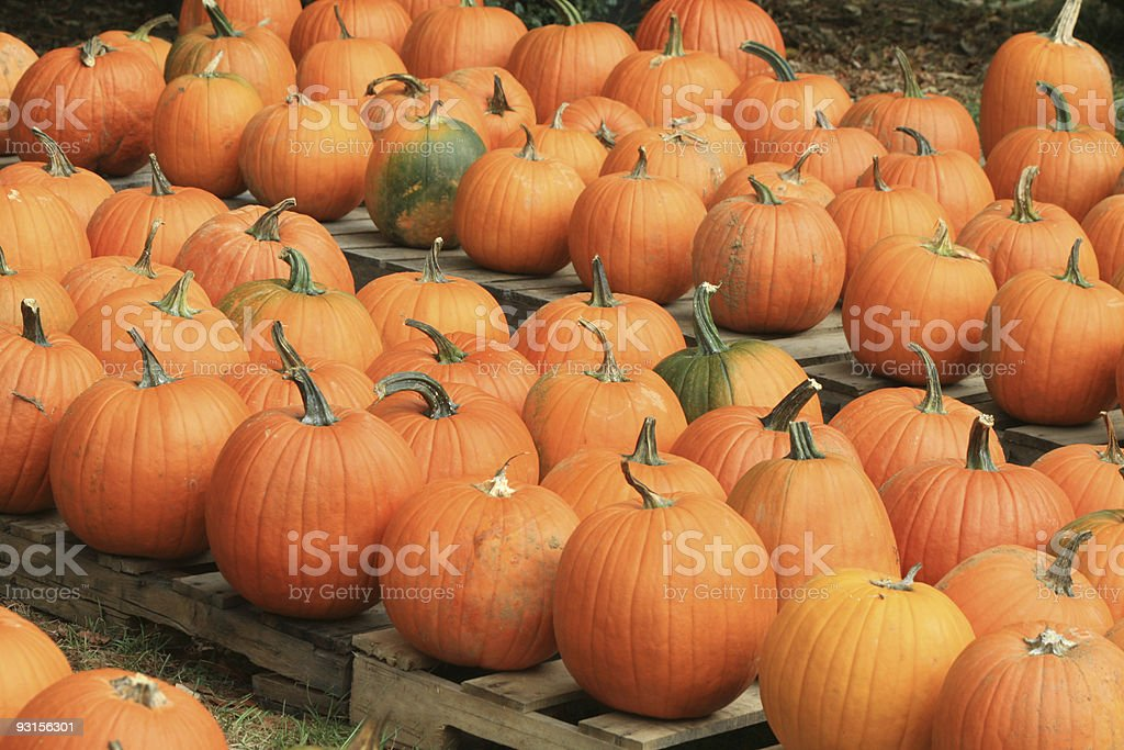 Pumpkin Patch in Autumn royalty-free stock photo