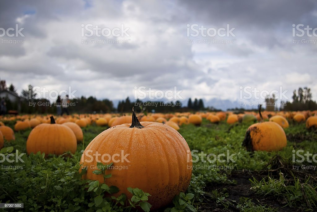 Pumpkin Patch with low perspective stock photo