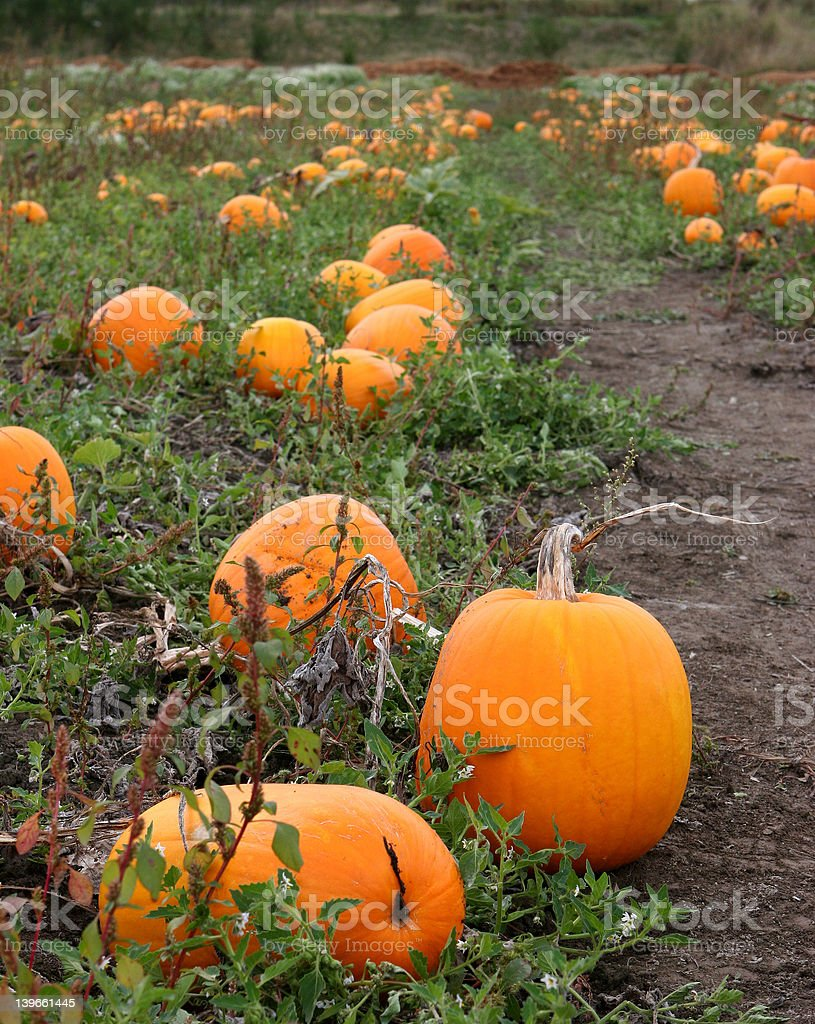 Pumpkin patch with path royalty-free stock photo