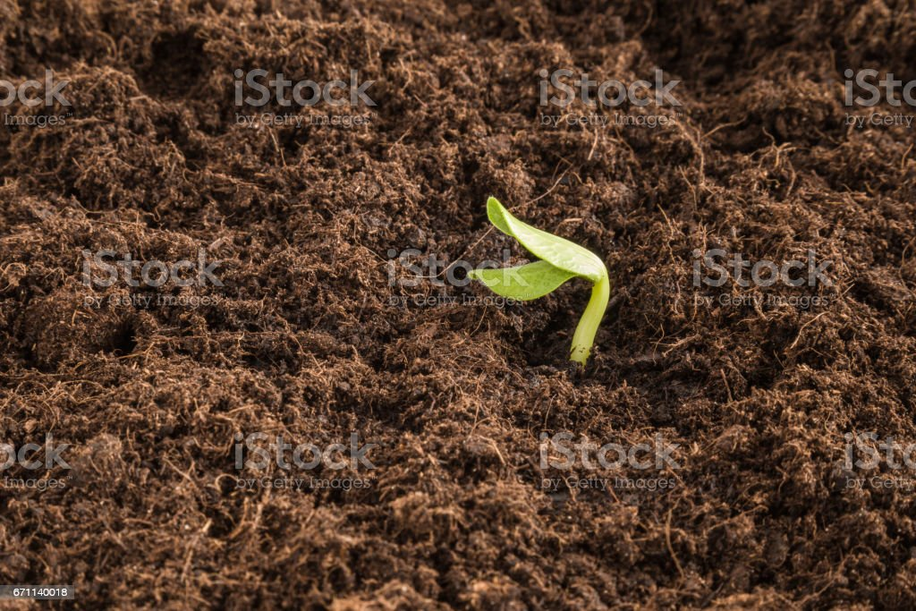 Pumpkin plant evolve in the ground. Early spring preparations for the garden season. stock photo