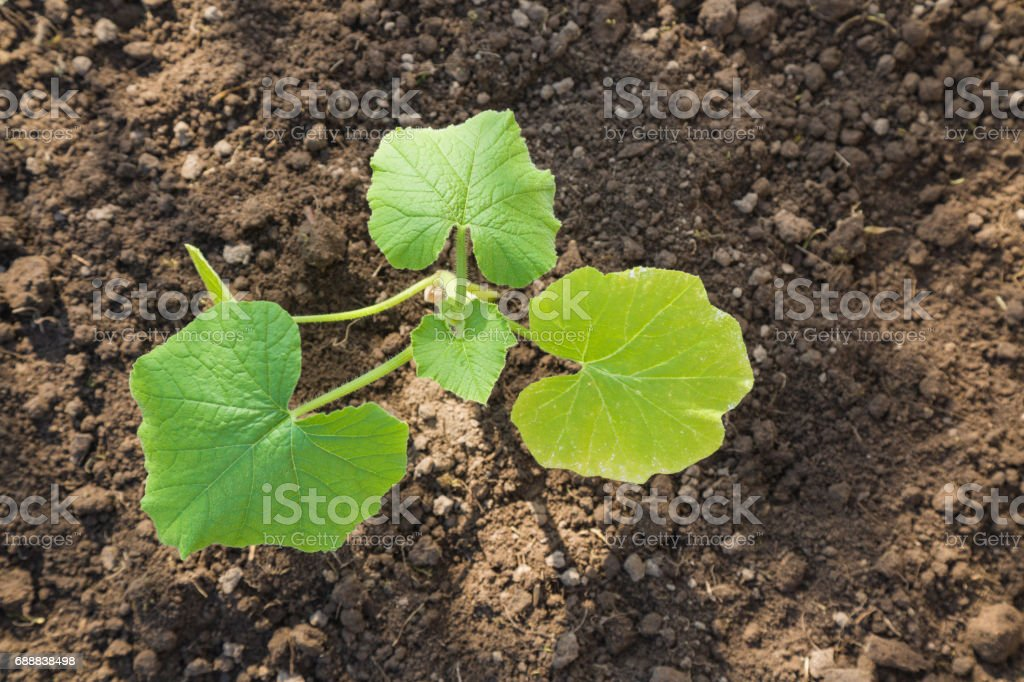 Pumpkin plant in the ground. Preparations for the garden season in spring. stock photo