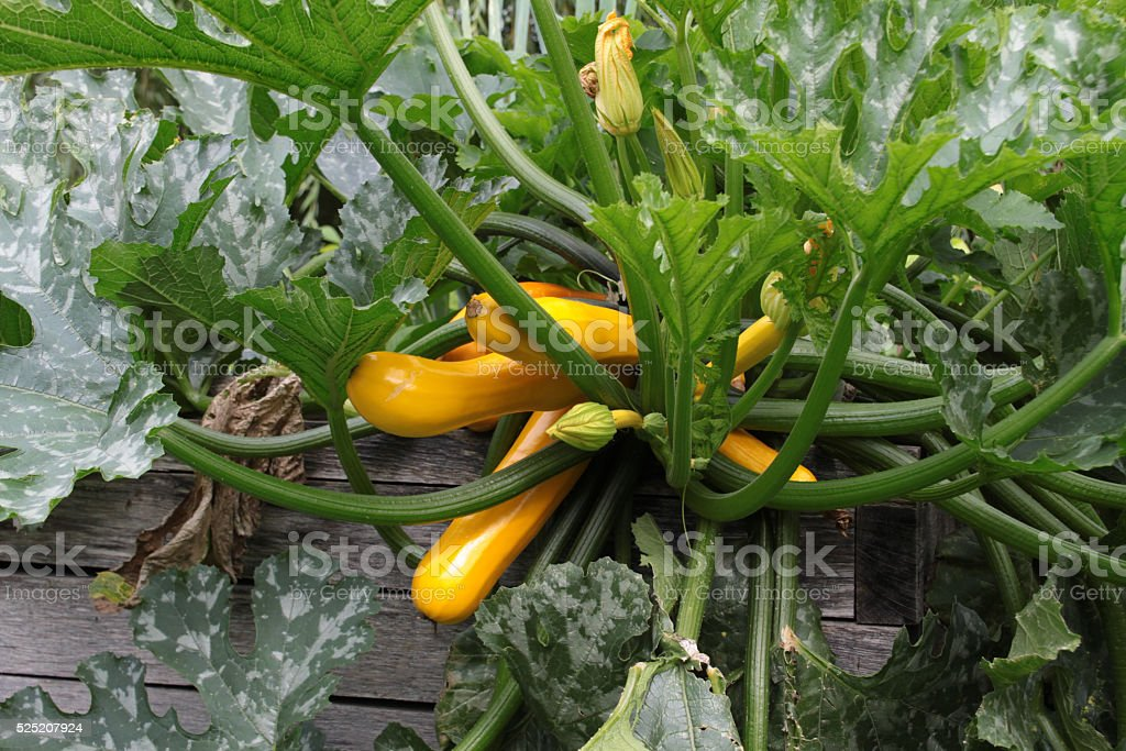 Pumpkin plant on a compost heap stock photo
