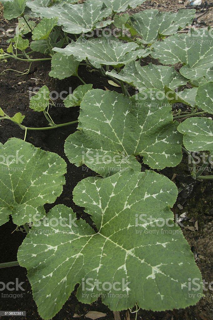 Pumpkin plant stock photo