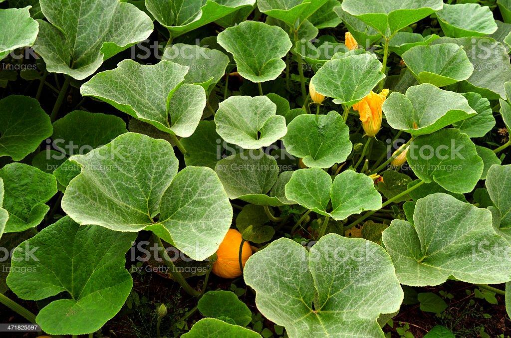 パンプキンの植物のオーガニック野菜の庭園。 ロイヤリティフリーストックフォト