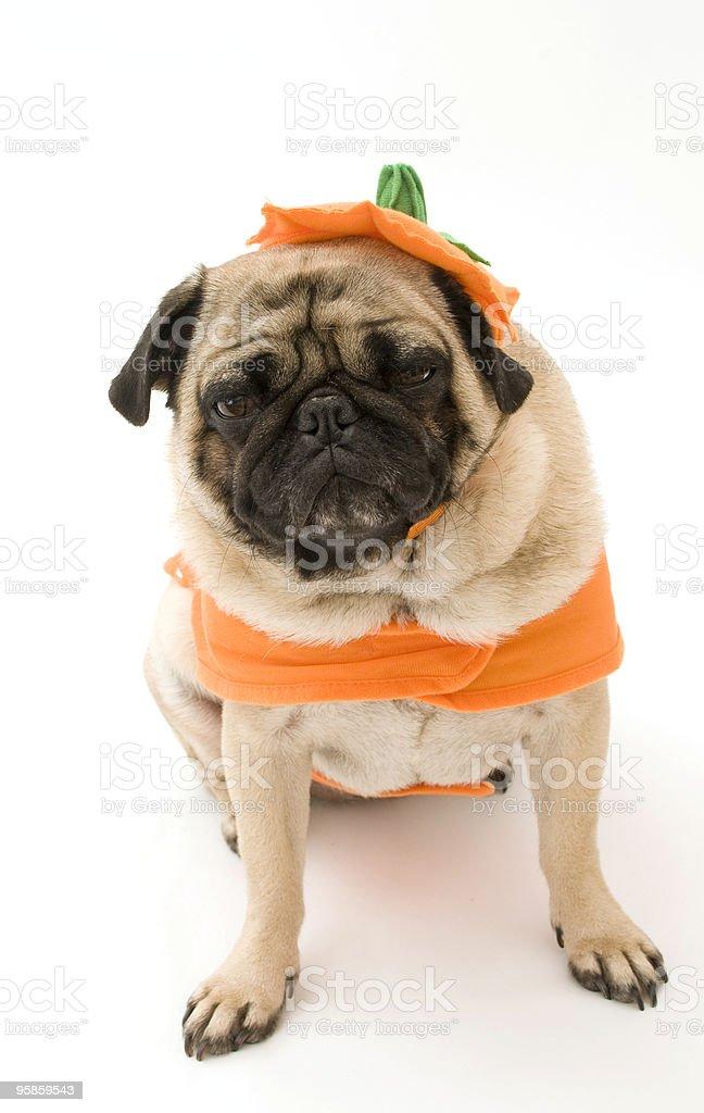 Pumpkin Pug stock photo