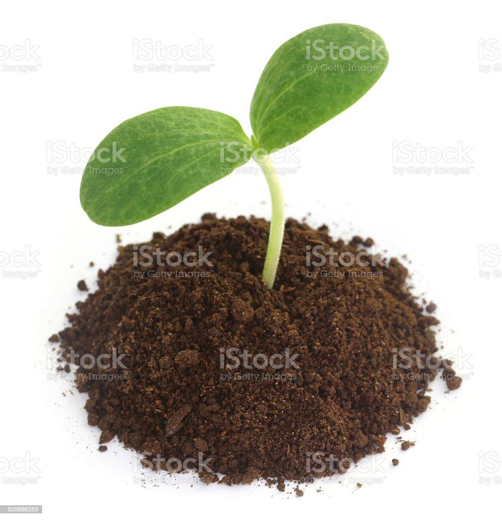 Pumpkin seedling on soil stock photo