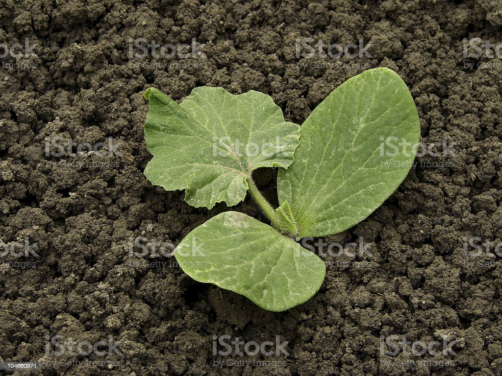 pumpkin sprout stock photo