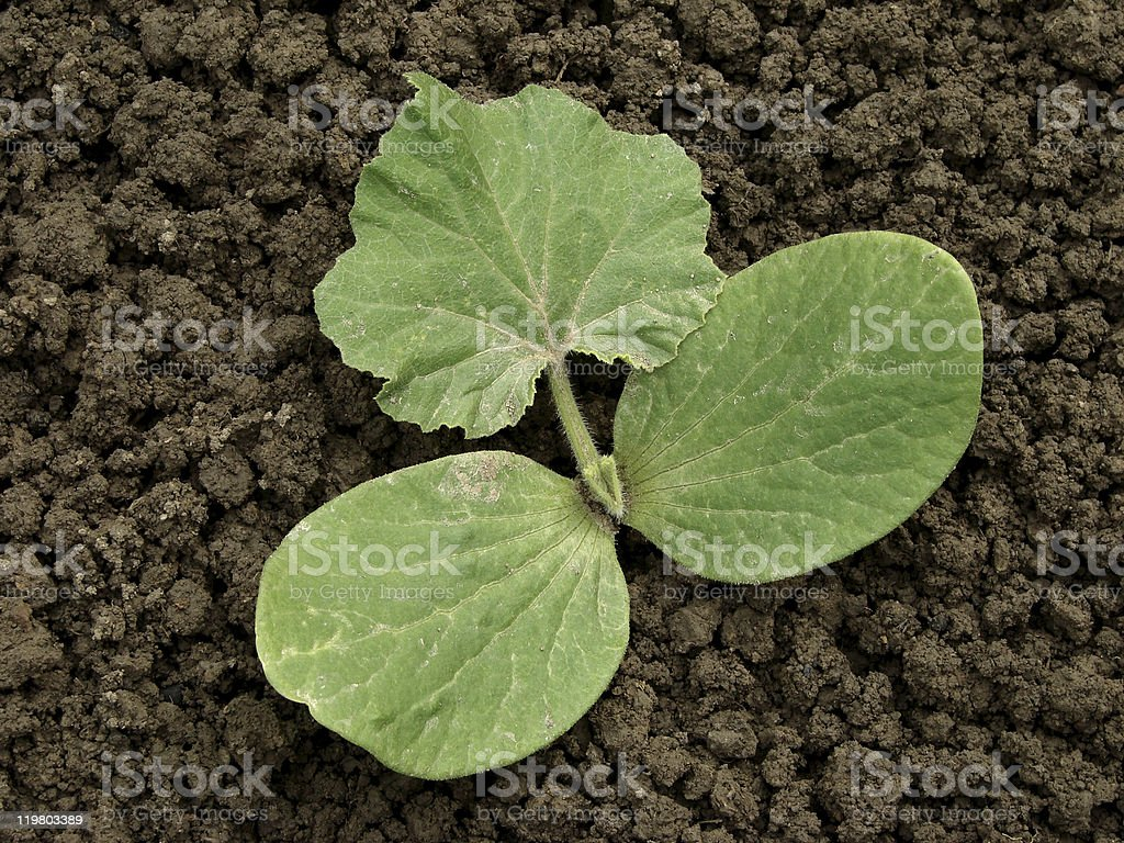 pumpkin sprout royalty-free stock photo