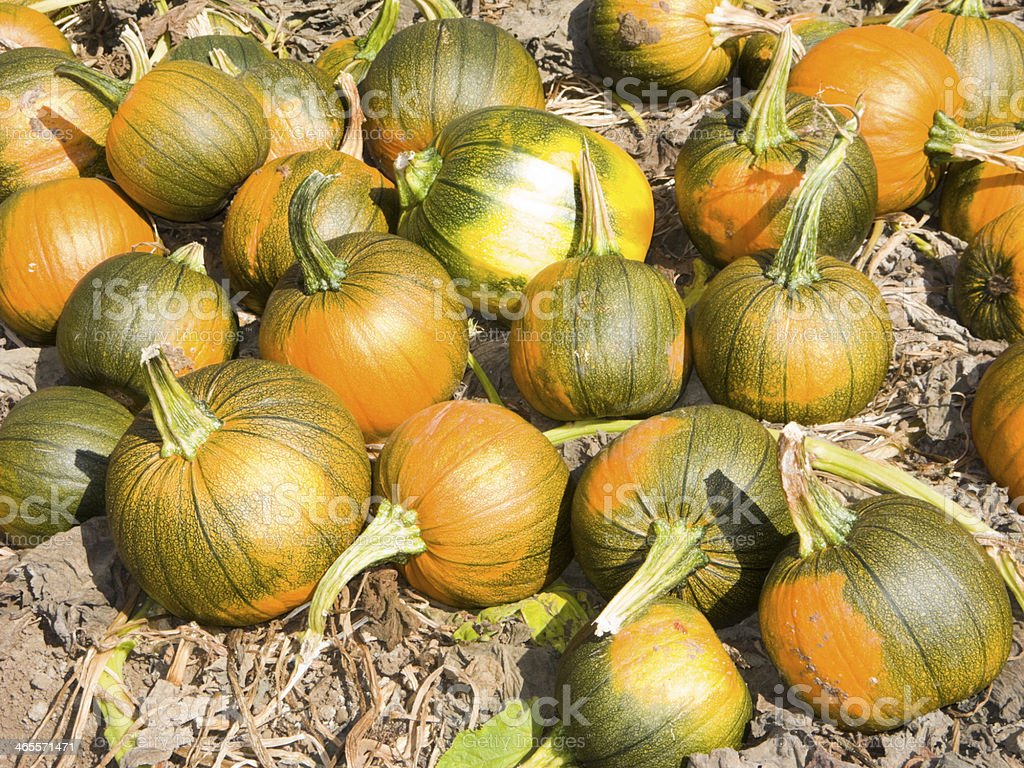 Pumpkin Time royalty-free stock photo