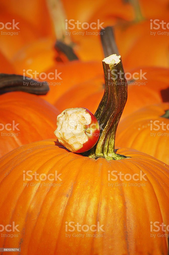 Pumpkin With Chewed Apple In Pumpkin Patch stock photo