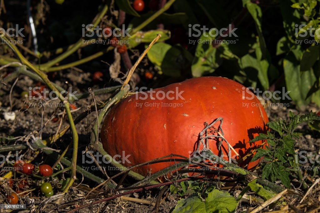 Pumpkin with tomatoes stock photo