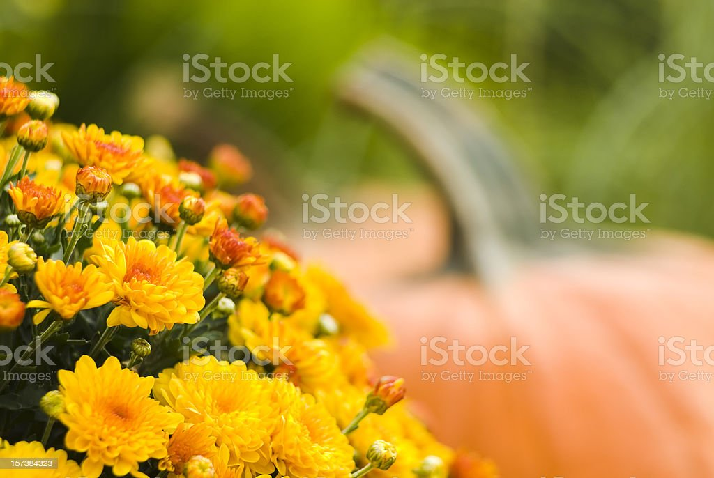 Pumpkins and mums - IV stock photo